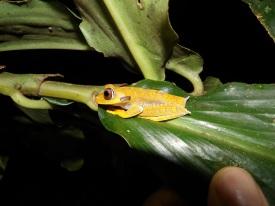 Hypsiboas Semilineatus