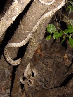 Corallus hortulanus ou Boa d'amazonie