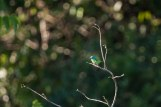 Dacnis cayana - Dacnis bleu femelle