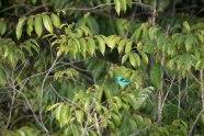 Dacnis cayana - Dacnis bleu mâle