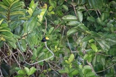 Ceratopipra erythrocephala - Manakin tête d'or