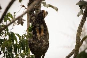 Bradypus tridactylus - Mouton paresseux