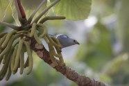 Thropis episcopus - tangara évèque femelle