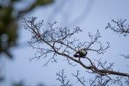 Ramphastus tucanus - toucan à bec rouge
