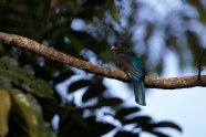 Trogon viridis - Trogon à queue blanche