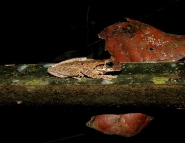 Ostéocephalus taurinus
