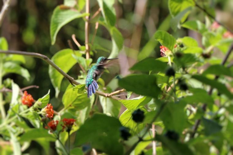colibri 03