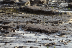 Pluvier d'azara