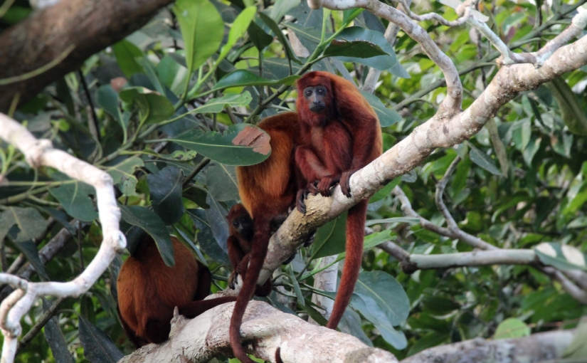 Les primates dulac