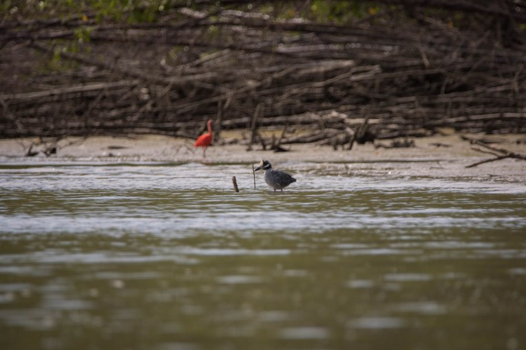 bihoreau ibis