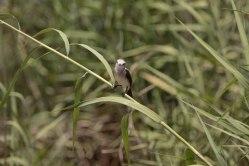 Arundinicola leucocephala - Moucherolle à tête blanche, femelle