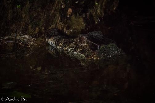 caiman gris 03 petit saut mai 2018