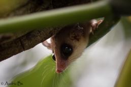 opossum 02 kaw juin 2018