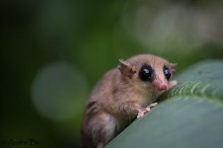 opossum 04 kaw juin 2018