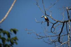 Ramphastos vitellinus - Toucan ariel