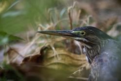 Butorides striatta - Heron strié
