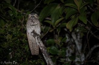 Nyctibius griseus - Ibijau gris