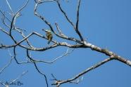 Selenidera piperivora - Toucanet koulik (femelle)