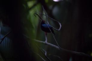 Chiroxiphia pareola - Manakin tijé