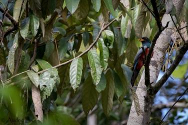 Trogon melanurus - Trogon à queue noire