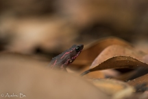 Atelopus flavescens - Atelope des Guyanes