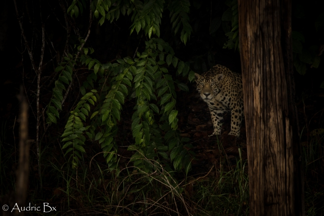 jaguar 01 petit saut 13.10