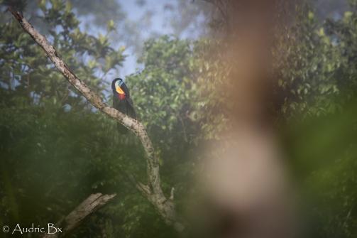 toucan ariel 01 belizon juin 2019