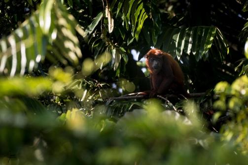 Hurleur roux (alouatta macconnelli) en Guyane.