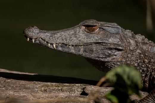 Caiman gris (Paleosuchus trigonatus) en Guyane.