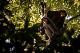 Kwata (ateles paniscus) en Guyane.
