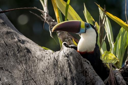 Toucan a bec rouge (ramphastos tucanus) en Guyane.