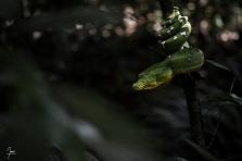 Boa canin (corallus caninus) chassant a l'affut en bord de crique en Guyane.