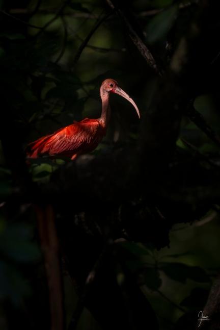 Ibis rouge (Eudocimus ruber) en Guyane.