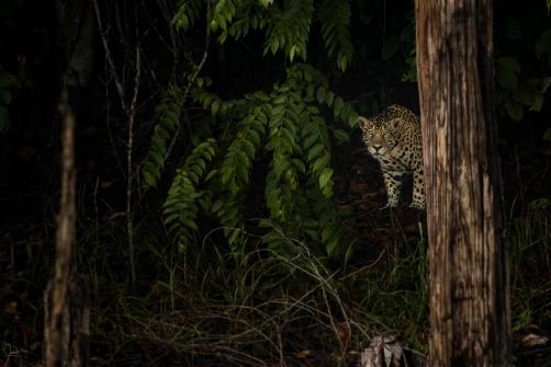Face à face inoubliable avec le roi solitaire de la jungle amazonienne. Jaguar (panthera onca) aux aguets sur une berge en Guyane française.